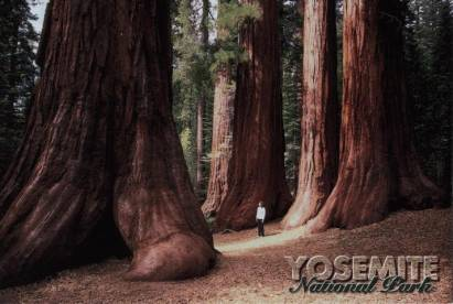 Yosemite National Park - Giant Sequoias